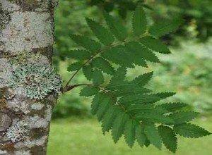Лечение грибка ногтей на руках листьями рябины
